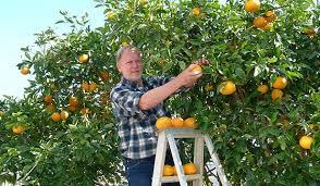 man-picking-citrus
